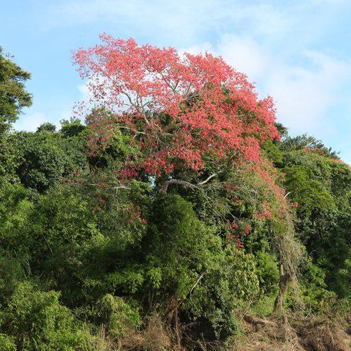 Fotos de Tambopata: La Lupuna (Ceiba pentandra) alcanza los 70 metros de alto. Foto: Rhett A. Butler