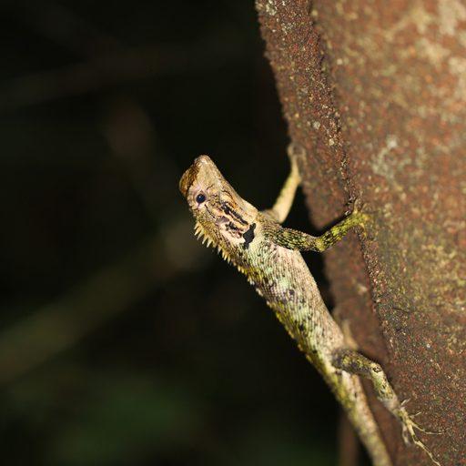 Fotos de Tambopata: Las lagartijas de Labios Azules (Plica umbra) es una especie arbórea muy extendida en el Caribe y América del Sur. Foto: Rhett A. Butler