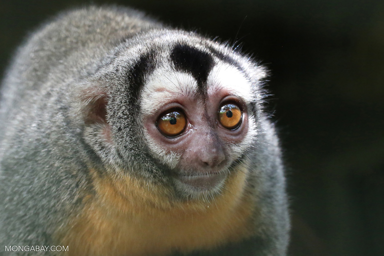 Fotos de Tambopata: El mono nocturno de Nancy Ma (Aotus nancymaae) pesa entre 550 y 950 gramos y mide entre 53 y 77 cm. Foto: Rhett A. Butler