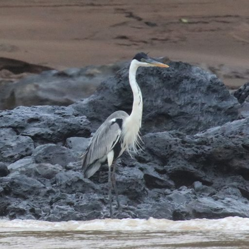Fotos de Tambopata: La garza cuca o garza mora (Ardea cocoi) es muy difícil de observar, pues se aleja volando apenas se siente amenazada. Foto: Rhett A. Butler
