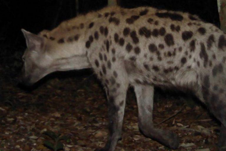 Una hiena manchada capturada por una cámara trampa en el Parque Nacional de las Mesetas Batéké, Gabón Foto y pie de foto © Panthera/ANPN/TAF