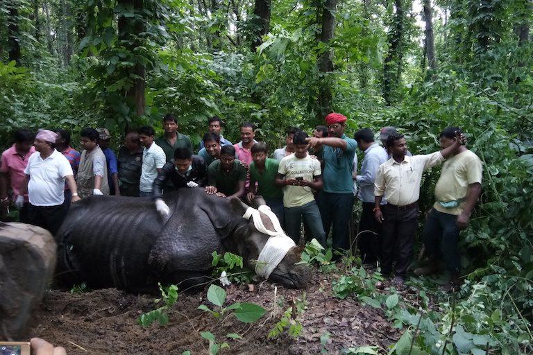 Los trabajos para rescatar a los rinocerontes anegados contaron con la participación de 350 trabajadores forestales y funcionarios de India y Nepal. Foto cortesía de la reserva de tigres de Valmiki.