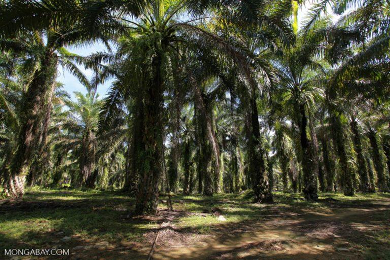 Plantación de palma africana en Indonesia. Imagen referencia. Foto: Rhett A. Butler
