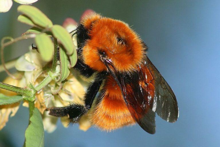 """""""El abejorro colorado (Bombus dahlbomii) era una especie de gran importancia en la polinización de un gran número de especies de plantas del bosque templado de Sudamérica austral"""", explicó el científico argentino Marcelo Adrián Aizen"""