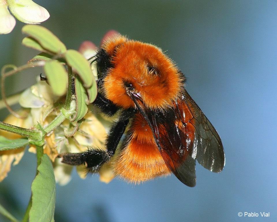 Las especies invasoras son una de las causas de la transformación del planeta. Foto: Pablo Vidal.