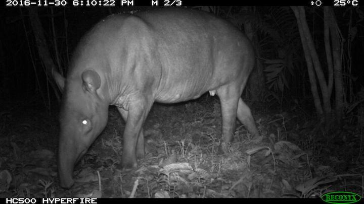 Danta o tapir (Tapirus terrestris) Foto: Angélica Diaz-Pulido - Instituto Humboldt.