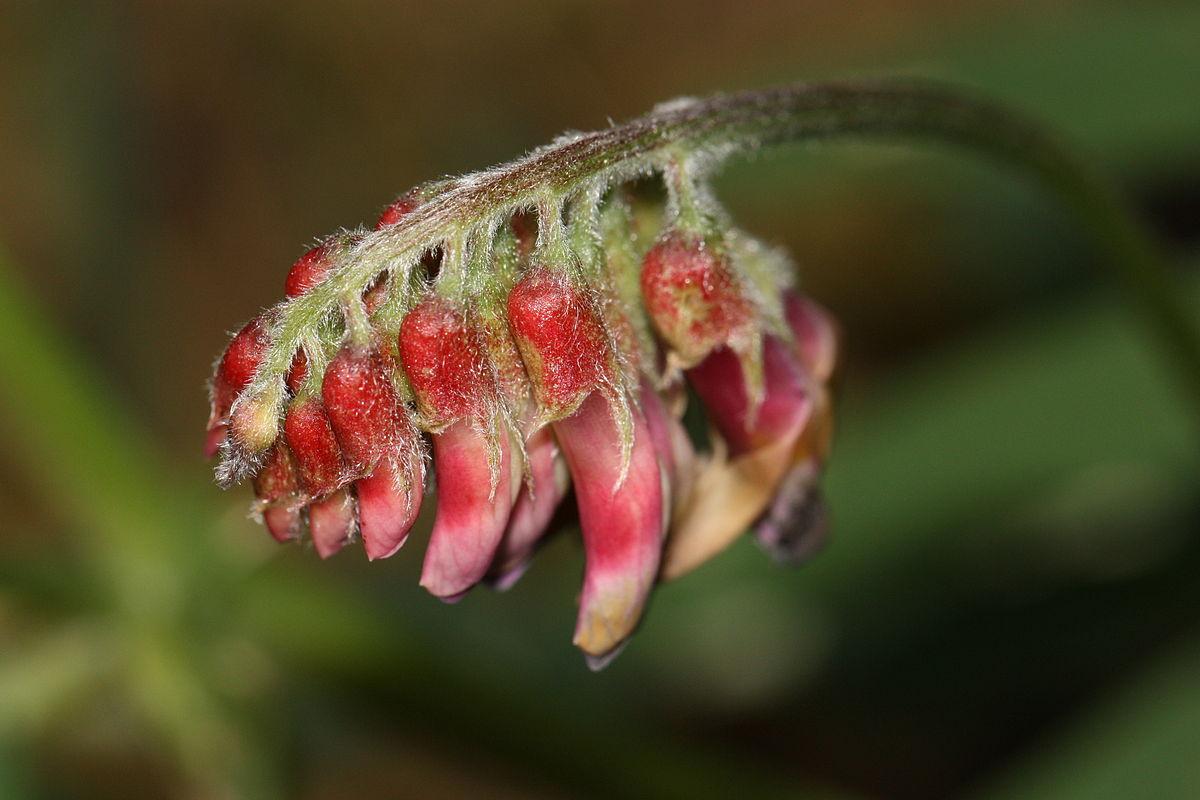 Estudios realizados en la arvejilla demuestran los efectos negativos de los abejorros invasores. Foto: Internet.