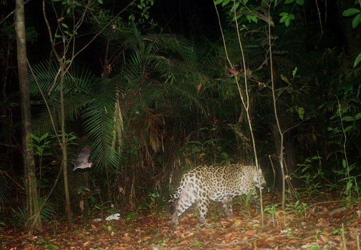 Jaguar en el Vichada en la cuenca del río Bita. Foto Federico Mosquera.