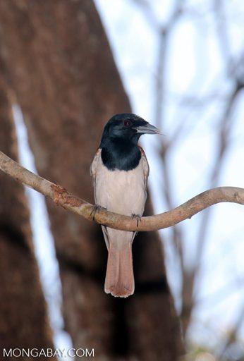 Animales de Madagascar: El vanga de Van Dam (Xenopirostris damii) es una especie endémica de Madagascar, que habita los bosques secos subtropicales o tropicales del país. Se encuentra En Peligro por la pérdida de hábitat. Foto: Rhett A. Butler