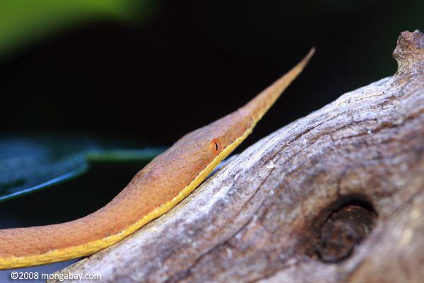 Animales de Madagascar: Especie endémica de Madagascar, la Langaha madagascariensis es conocida también como serpiente nariz de hoja. Se cree que la forma peculiar de su rostro sirve de camuflaje para poder atacar a sus presas. Foto: Rhett A. Butler