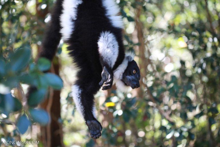 Animales de Madagascar: El lémur rufo blanco y negro (Varecia variegata) alcanza una longitud de hasta 60 cm y pesa aproximadamente alrededor 4,5kg. Tiene la segunda vocalización más fuerte del reino animal, detrás del mono aullador. Se encuentra En Peligro Crítico. Foto: Rhett A. Butler