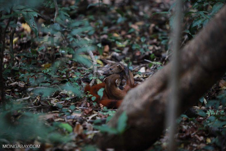 Animales de Madagascar: Dos mangostas de cola anillada (Galidia elegans) en el bosque. Este pequeño carnívoro habita los bosques húmedos a lo largo de Madagascar, aunque su población se ha visto mermada por la pérdida de hábitar. Foto: Rhett A. Butler