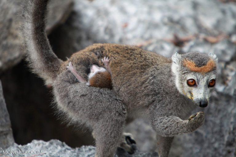 Animales de Madagascar: El lémur coronado (Eulemur coronatus) vive en el norte de Madagascar, la mayoría de su población en la reserva de Ankarana. Tiene 36 centímetros de talla y una cola de hasta 50 cm. Su estado de conservación es En Peligro. Foto: Rhett A. Butler