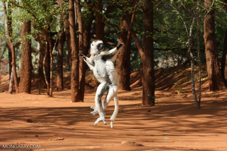 Animales de Madagascar: El sifaca de Verreaux (Propithecus verreauxi) es una especie de lemur que alcanza los 45 centímetros de alto y menos de 4 kilos de peso. Son famosos por sus saltos de árbol en árbol, de hasta 10 metros, y en la tierra se movilizan dando pequeños saltos. Su estado de conservación es En Peligro. Foto: Rhett A. Butler