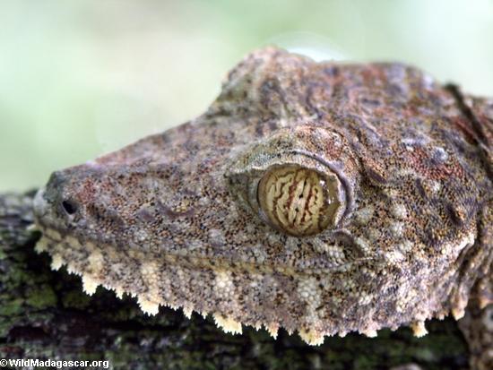 Animales de Madagascar: Un acercamiento al rostro del El uroplato o geco de cola de hoja (Uroplatus fimbriatus). Sus peculiares ojos distinguen los colores hasta en la más plena oscuridad. Foto: Rhett A. Butler
