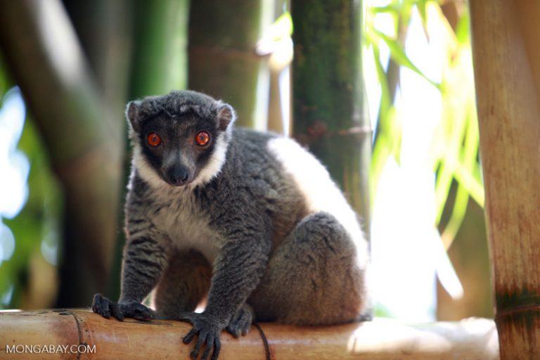 """Animales de Madagascar: El lémur mangosta (Eulemur mongoz) habita en las islas de Madagascar y Comoras. Alcanza un tamaño de 46 centímetros y puede vivir 20 años en estado salvaje. Está """"En Peligro Crítico"""". Foto: Rhett A. Butler"""