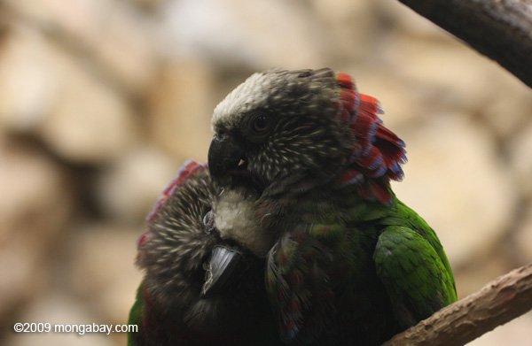 Un par de loros cacique (Deroptyus accipitrinus) acurrucados. Esta especie, la única de su género, habita en la selva amazónica, de las Guayanas al norte del Perú.