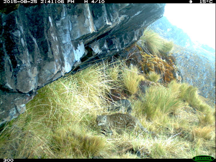 Gato montés (Leopardus colocolo). Foto: Guido Ayala & Maria Viscarra/WCS