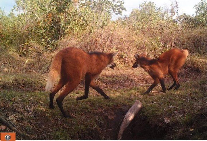 Borochis (Chrysocyon brachyurus) en el Parque Nacional Noel Kempff Mercado. Foto: Proyecto Borochi