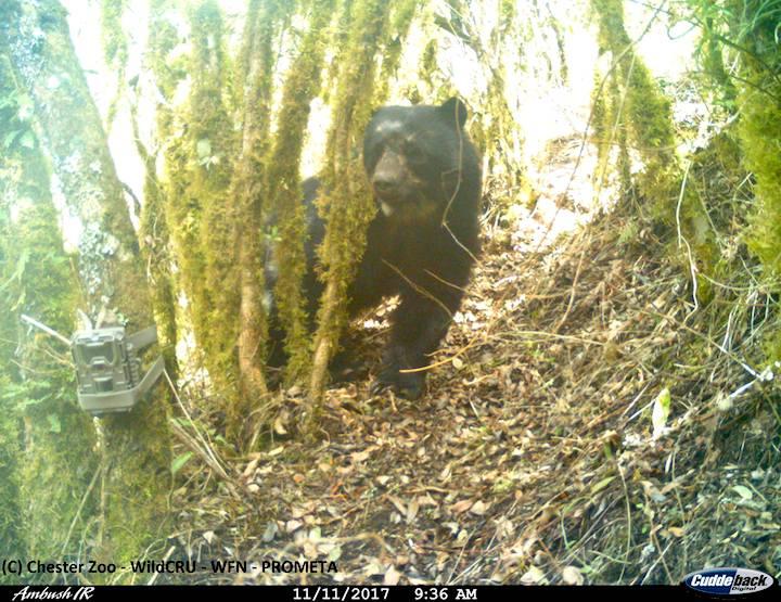 Las cámaras trampa han permitido registrar el comportamiento del Oso Andino o Jucumari (Tremarctos ornatus). Foto: Proyecto Oso Andino