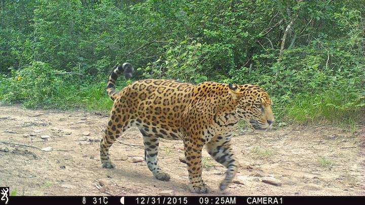 Las cámaras trampa en la estancia San Miguelito han registrado la presencia de 10 jaguares adultos. Foto: Duston Larsen / Proyecto La Ruta del Jaguar