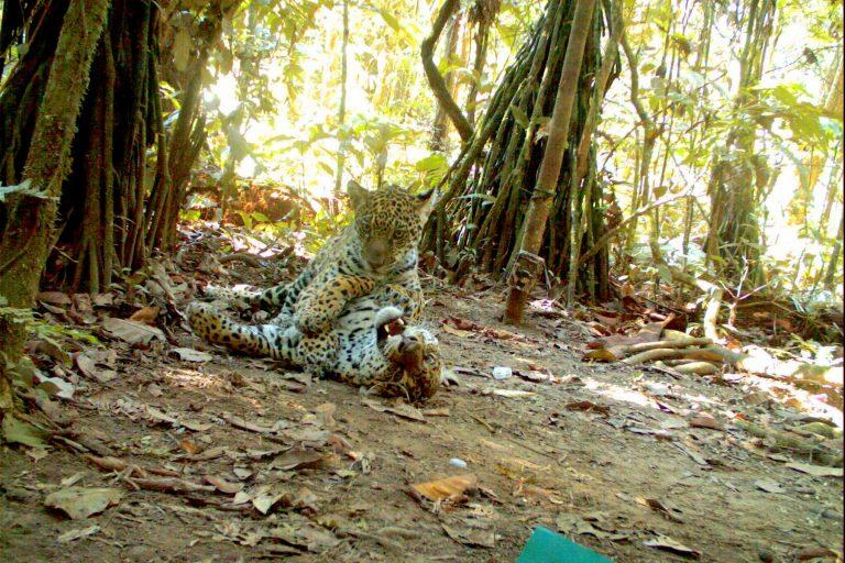 Jaguares (Panthera onca). Foto: Parque Kaa Iya.