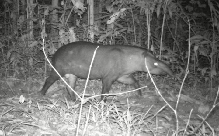 Tapir. Foto: ACEAA.
