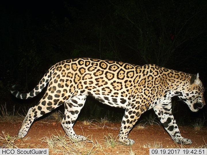 Jaguar (Panthera onca). FotO: Parque Kaa Iya.
