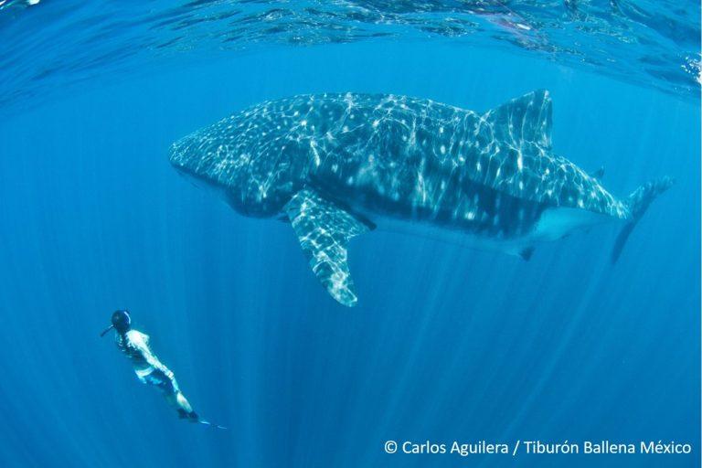 La bióloga marina, Dení Ramírez, lleva más de 15 años investigando a los tiburones ballena. Foto: Carlos Aguilera.