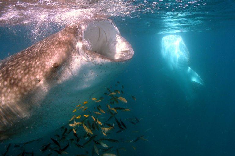 La bióloga marina mexicana Dení Ramírez bautiza a los tiburones ballena que encuentra en la bahía La Paz, en México. Foto: Dení Ramirez.