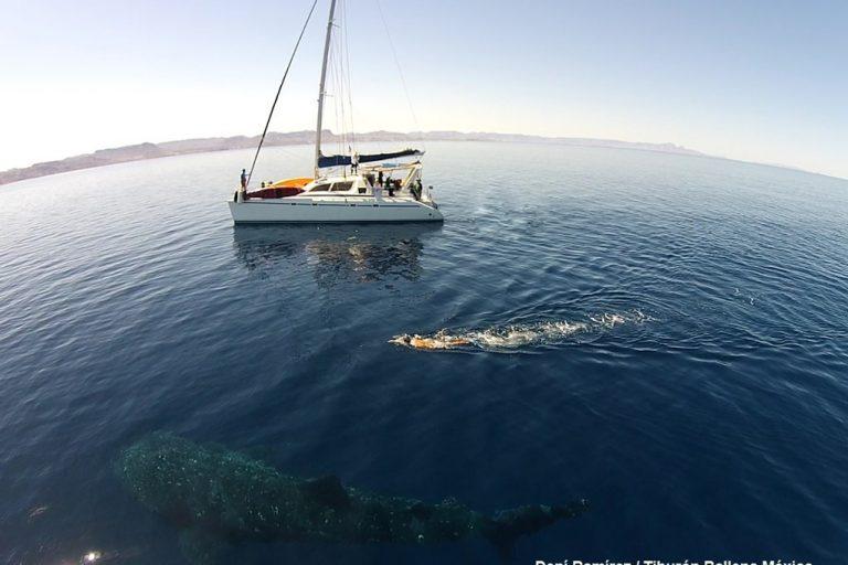 Un tiburón ballena se desplaza en el mar de la bahía La Paz, en Baja California, México. Foto: Dení Ramírez.