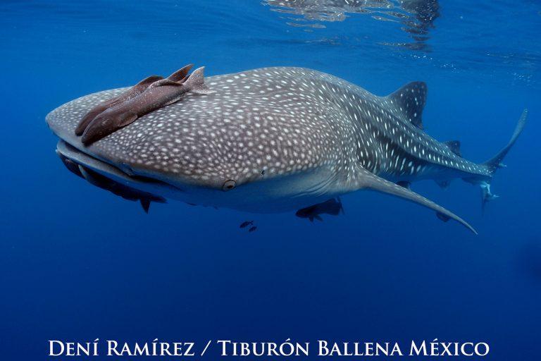Los puntos que tienen los tiburones ballena en su cuerpo forman un patrón único, son como una huella digital. Foto: Dení Ramírez.
