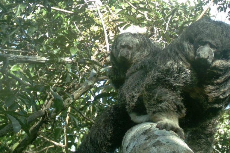 Sakis grises (Pithecia irrorata). En total, se registraron 25 especies arbóreas de 12 familias de mamíferos utilizando los puentes naturales. Foto cortesía de SCBI-CCS