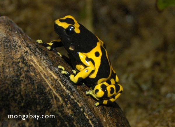 Ranas asombrosas: El sapito minero (Dendrobates leucomelas) se distribuye por Colombia, Venezuela, Guyana y Brasil. Su color es una advertencia a posibles depredadores. Tiene un veneno neurotóxico. Foto: Rhett A. Butler