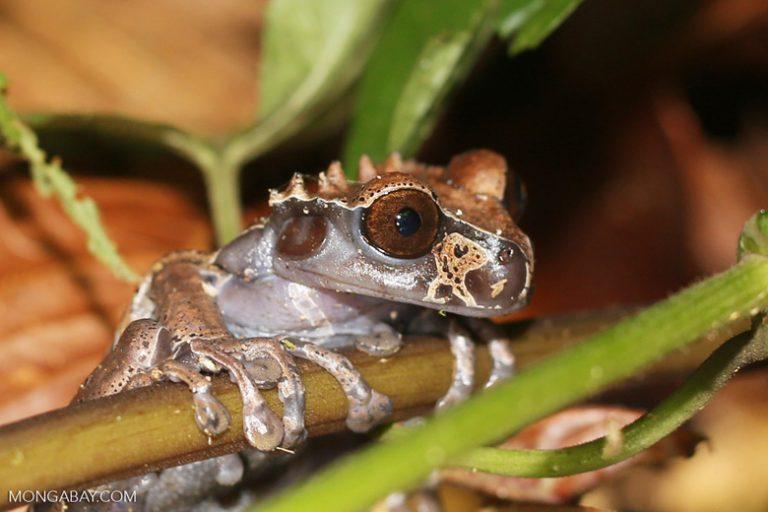 Ranas asombrosas: La rana de corona (Anotheca spinosa) tiene proyecciones espinosas en la cabeza. Habita desde México a Panamá. Foto: Rhett A. Butler