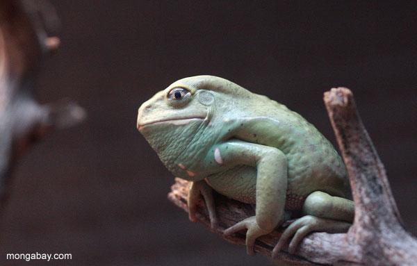 Ranas asombrosas: La rana mono encerada (Phyllomedusa sauvagii) habita el Gran Chaco en Bolivia, Argentina y Paraguay. Tiene movimientos lentos, rara vez salta y segrega una sustancia cerosa de su piel para evitar la pérdida de agua. Foto: Rhett A. Butler