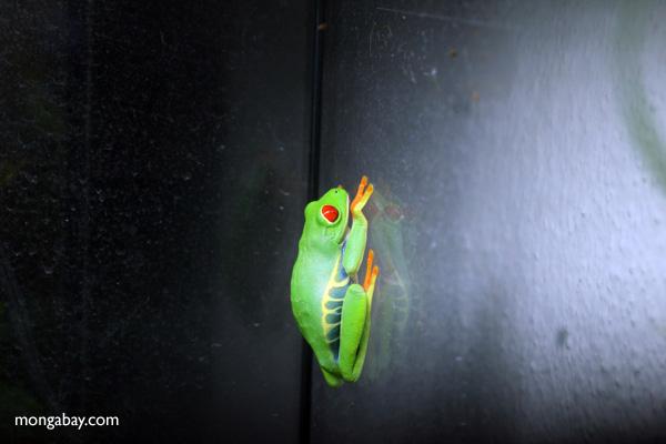 Ranas del mundo: La rana verde de ojos rojos (Agalychnis callidryas), llamada rana calzonuda en Costa Rica, habita desde el sur de México hasta Colombia. Su piel contiene toxinas, pero no son tan poderosas.