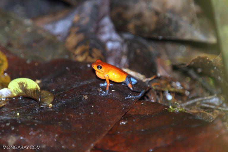 Ranas del mundo: La rana flecha roja y azul (Oophaga pumilio) tiene un potente veneno neurotóxico. Su coloración varía de tonalidad según la zona que habite en Nicaragua, Costa Rica y Panamá. Foto: Rhett A. Butler