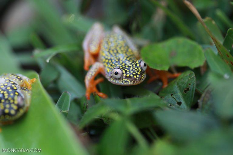 Ranas asombrosas: La Heterixalus alboguttatus es una especie endémica de Madagascar. Alcanza apenas los 33 milímetros.