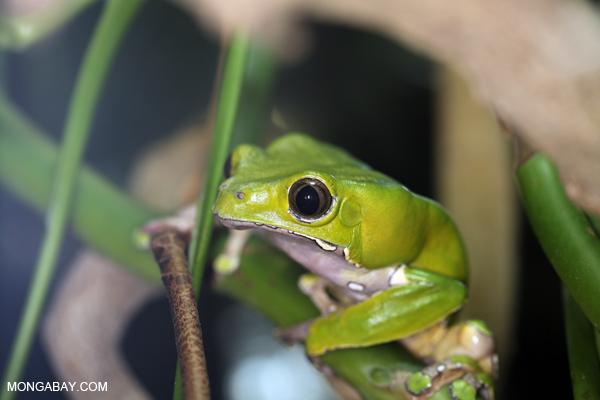 Ranas asombrosas: La rana mono grande o rana kambó (Phyllomedusa bicolor) alcanza los 103 milímetros (machos) 119 milímetros (hembras). Se distribuye en la Amazonía. La secreción de su piel es usada como medicamento.