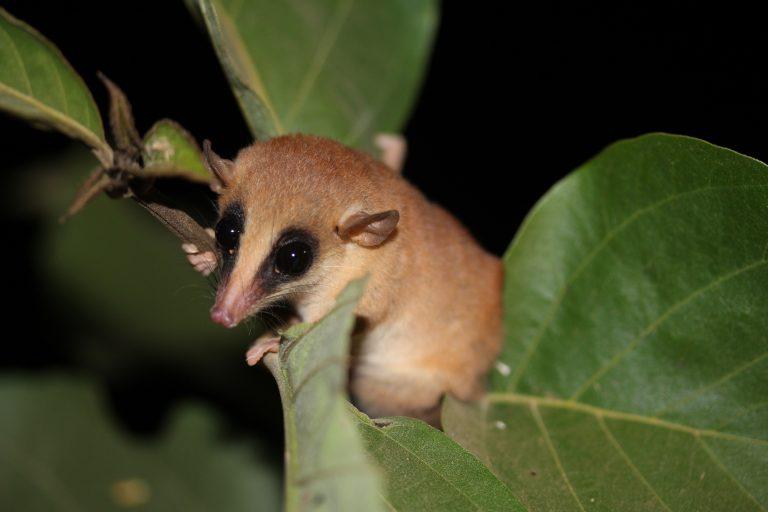 La marmosa (Marmosa lepida) o zarigüeya ratón es un marsupial que habita en la Amazonía peruana. Foto: José Luis Mena / WWF.
