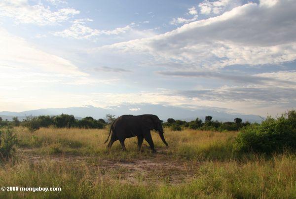 Un elefante en Uganda, en el África central. Foto: Rhett A. Butler