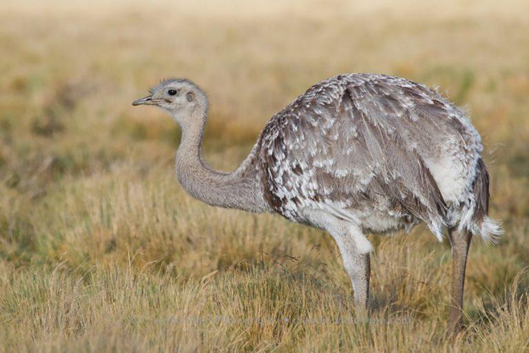 El Suri se encuentra en Puno, Moquegua y Tacna. Según el último censo, hay solo 350 animales en estado silvestre . Foto: Andina
