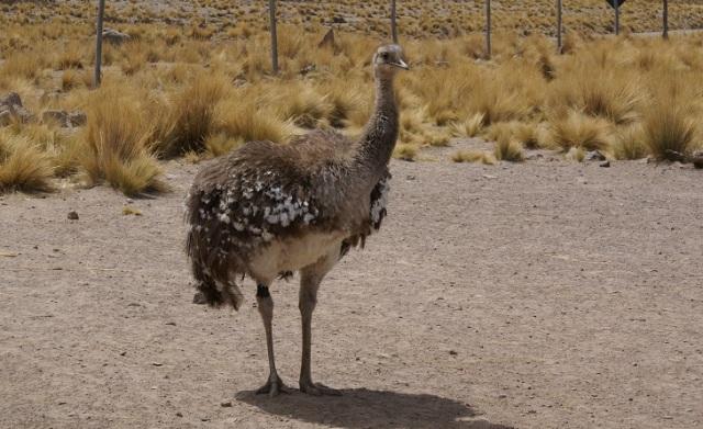El suri es considerada el ave más grande de Sudamérica con una altura de hasta 1.50 metros. Foto: Serfor.