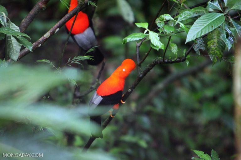 Los gallitos de las rocas (Rupicola peruviana) son el ave nacional del Perú. Habitan los bosques de neblina de la Amazonía, desde Venezuela hasta Bolivia. Son conocidos por la belleza del plumaje de los machos, lo cual representa un marcado dimorfismo sexual con las hembras, que tienen un color apagado. Foto: Rhett A. Butler