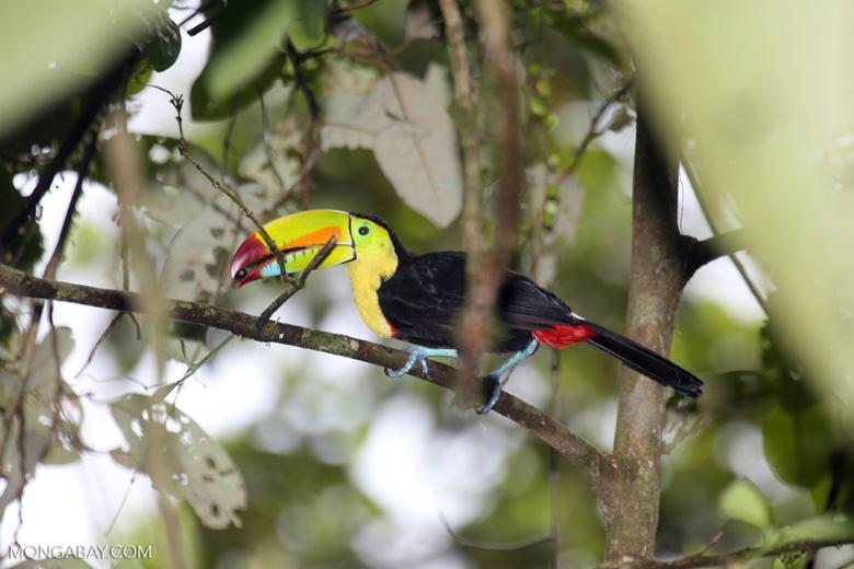 El tucán pico iris o tucán piquiverde (Ramphastos sulfuratus) es el ave nacional de Belice. Esta ave habita desde el norte de México al oeste de Venezuela. Es un volador deficiente, por lo que se moviliza de salto en salto entre los árboles. Foto: Rhett A. Butler