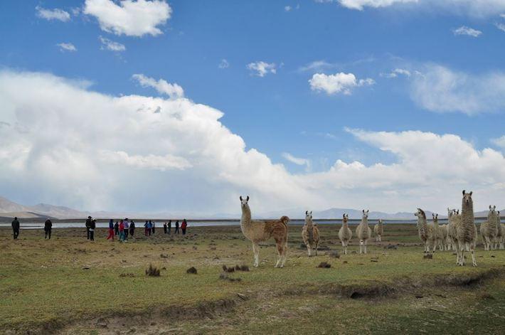 El corredor biológico de las vicuñas se ha visto afectado con la nueva carretera. Foto: Sernap.