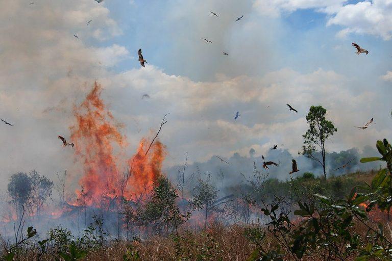 Halcones que cazan en y alrededor de un incendio controlado, el Parque Nacional Etna Caves, Central Queensland. Los pájaros son una mezcla de cometas negras y milanos silbadores. Foto de Mark Marathon vía Wikimedia Commons (CC BY-SA 2.0)