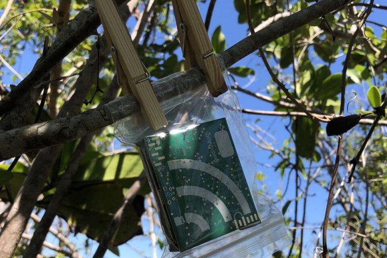 Los modernos grabadores (Audio Moth) son cada vez más pequeños y se pueden camuflar en los árboles. Foto. Marconi Campos / Sieve Analytics.