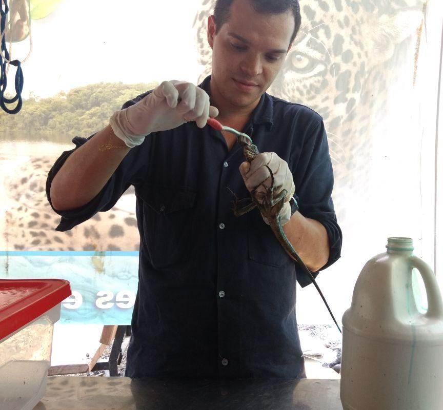 Una lagartija afectada por derrame de petróleo en Colombia es limpiada con un cepillo. Foto: Cabildo Verde